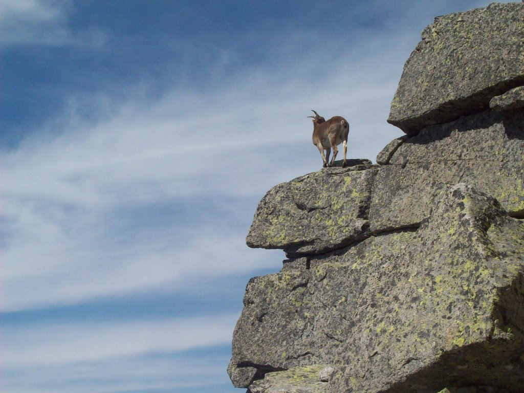 A goat near the summit