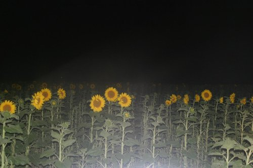 Sunflowers on Dirt Roads near Summit