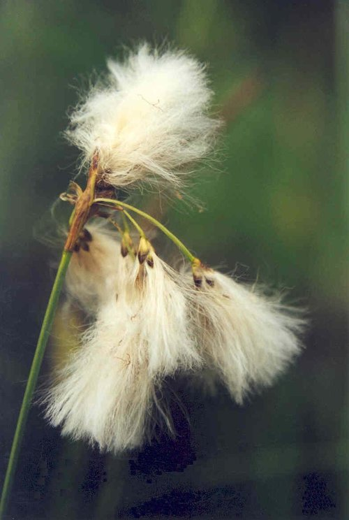 Slender Cotton-grass (Eriophorum gracile)