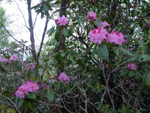 Rhododendrons On Walker Mountain
