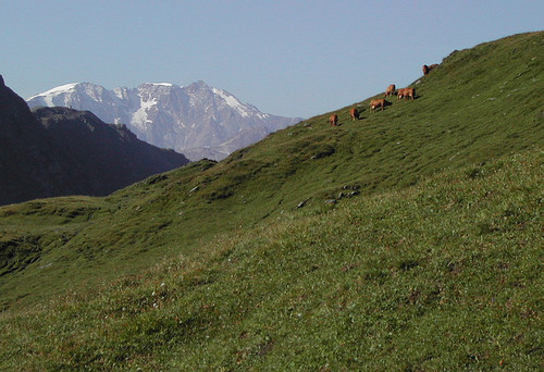 Grazing cows and the Sommet du Bellecôte <i>3417m</i>  in the background