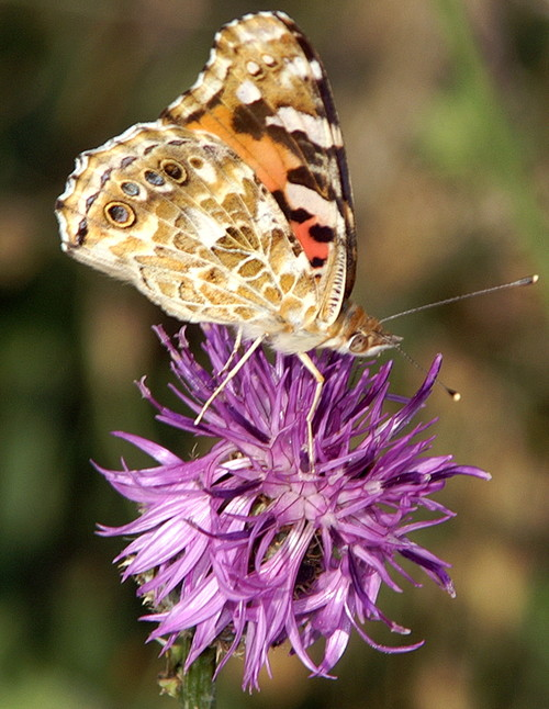 The Painted Lady over a thistle flower