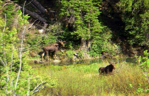 Two Moose at the base of Kessler Peak
