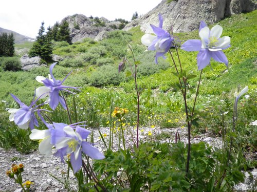 Spencer Basin Columbine