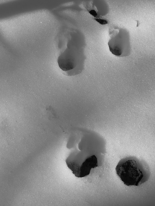 animal tracks on Sugarloaf Peak