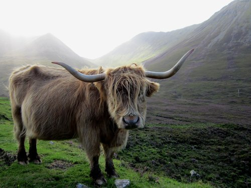 Mature Highland Bull