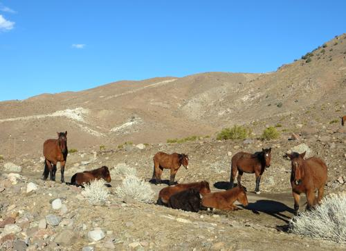 Wild Horses in the Virginia Range