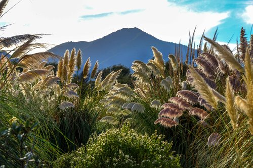 Mt. Tam from the pampas grass jungle