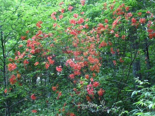 Flame Azalea on the AT