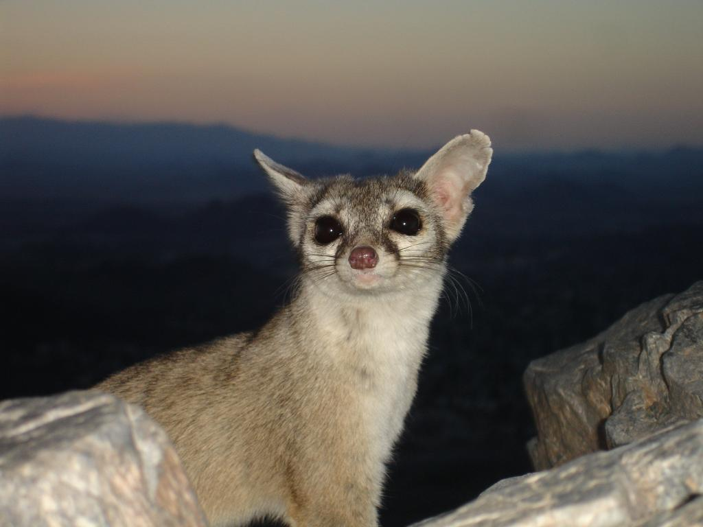 Ring tailed Cat on summit