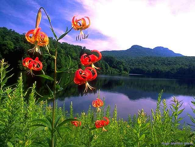 Turkscap Lillies and view of...