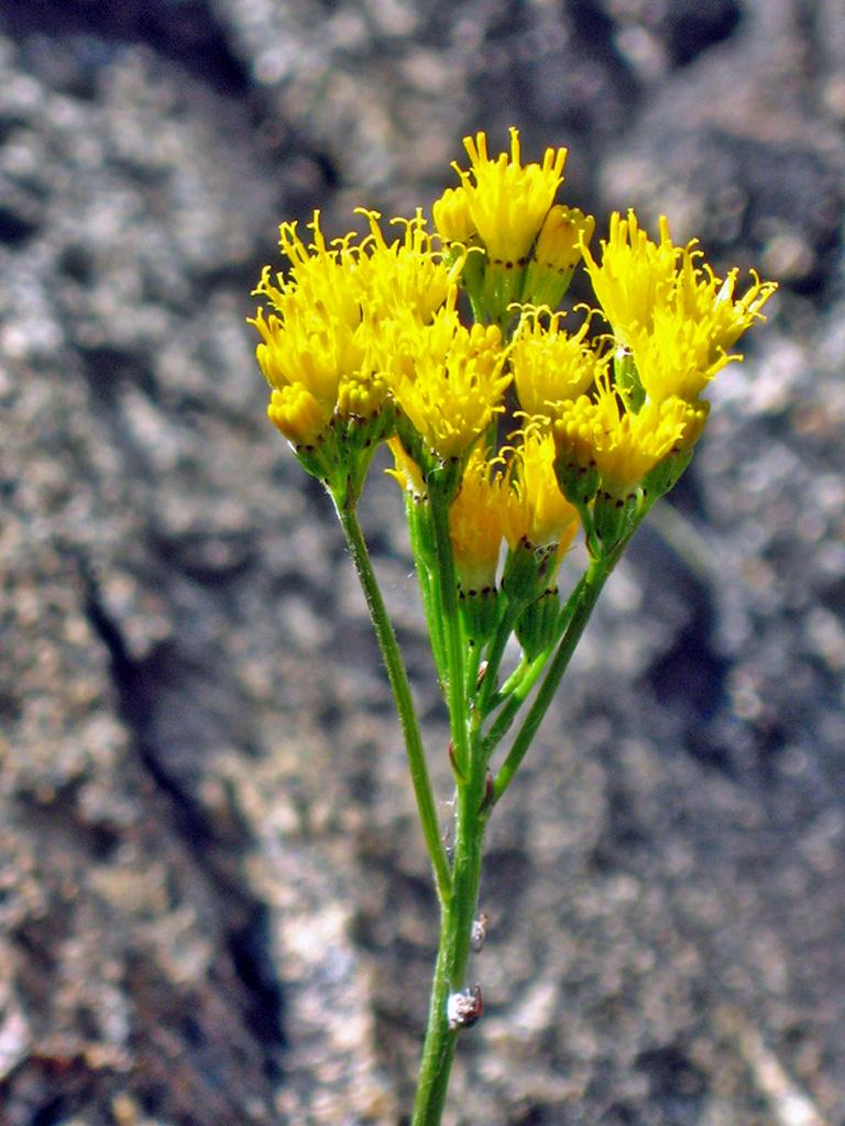 Sierra Butterweed