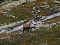 Animals of the Gran Paradiso  National Park: <br>a chamois in the  Vallone di Montandaynè
