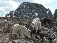 Mountain Goats near the base...