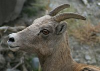 Bighorn Ewe on Mount Everts