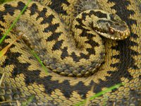 Adder - Common Viper