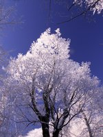 Winter sycamore ...