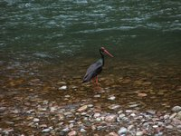 Black Stork of the Dunajec